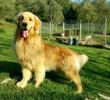 Golden Retriever Cuccioli Frosinone Lazio Annunci Animali