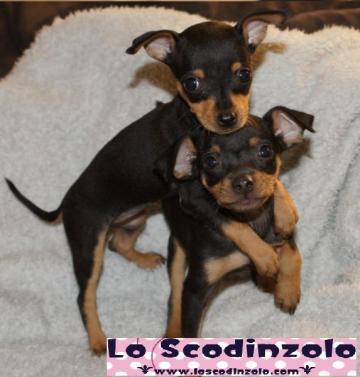 Pinscher nani cuccioli nero focato tutta italia tutta for Pinscher nero