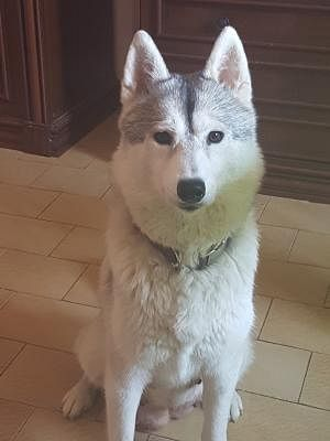 Siberian Husky Cani Toscana Annunci Animali Trovacuccioli