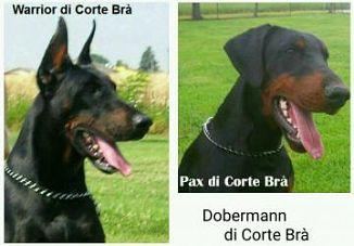 Dobermann Cani Lombardia Annunci Animali Trovacucciolicom