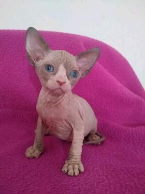 Sphynx Gatti Annunci Animali Trovacucciolicom Gratis Cani