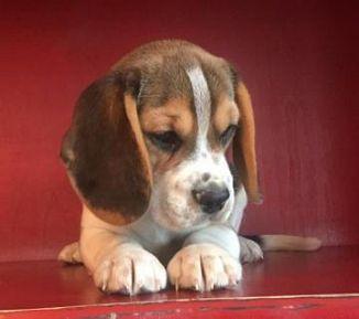 Beagle Cani Lombardia Annunci Animali Trovacucciolicom