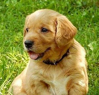 Golden Retriever Cani Campania Annunci Animali Trovacuccioli