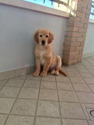 Golden Retriever Cani Lombardia Annunci Animali