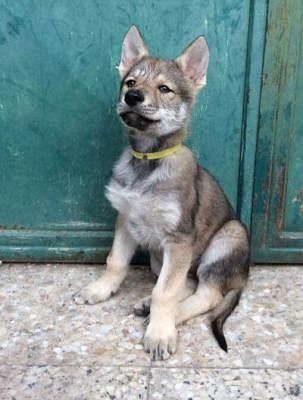 Regalo Cucciolo Lupo Cecoslovacco.Cane Lupo Cecoslovacco Cani Annunci Animali