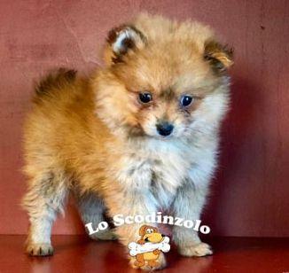 Spitz di pomerania cani annunci animali for Cani pomerania