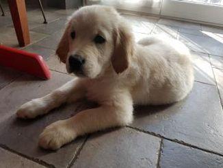 Golden Retriever Cani Annunci Animali Trovacucciolicom