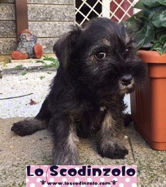 Schnauzer Cani Annunci Animali Trovacucciolicom Gratis Cani