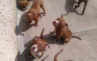 Pitbull Red Nose Cani Annunci Animali Trovacucciolicom