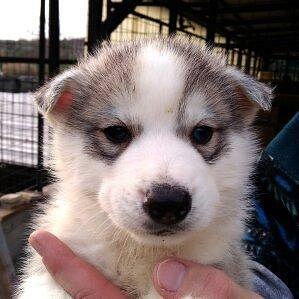 Siberian Husky Cani Annunci Animali Trovacucciolicom Gratis