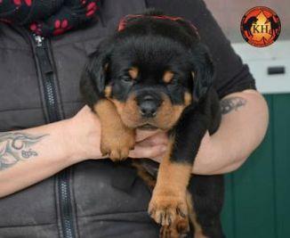 Rottweiler Cani Piemonte Annunci Animali Trovacucciolicom