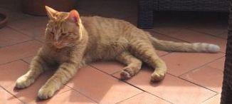 Gatto Di Casa Gatti Toscana Annunci Animali Trovacuccioli