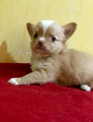 Chihuahua A Pelo Lungo Cani Annunci Animali Trovacucciolicom