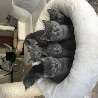 Certosino Gatti Annunci Animali Trovacucciolicom Gratis