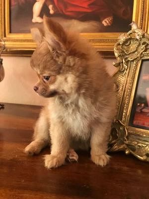 Chihuahua A Pelo Lungo Cani Toscana Annunci Animali
