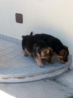 Pastore Tedesco Cani Piemonte Annunci Animali Trovacuccioli