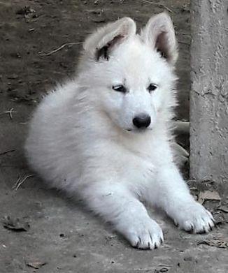 Pastore Svizzero Bianco Cani Annunci Animali Trovacucciolicom