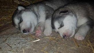 Alaskan Malamute Cani Annunci Animali Trovacucciolicom