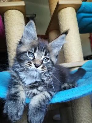 Cerco Un Gattino Piccolo In Regalo.Gatti Campania Annunci Animali Trovacuccioli Com