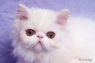 Persiano Gatti Annunci Animali Trovacucciolicom Gratis Cani
