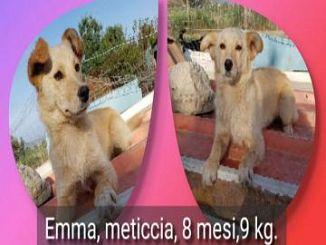 Volpino Italiano Cani Annunci Animali Trovacucciolicom