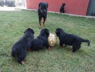 Rottweiler Cani Veneto Annunci Animali Trovacucciolicom