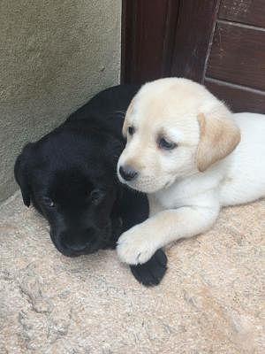 Labrador Retriever Cani Annunci Animali Trovacucciolicom