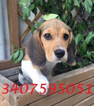 Beagle Cani Annunci Animali Trovacucciolicom Gratis Cani Gatti