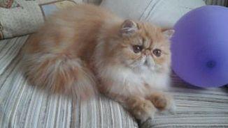 Cerco cuccioli gatti persiani in regalo