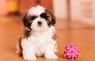 Shih Tzu Cani Annunci Animali Trovacucciolicom Gratis Cani