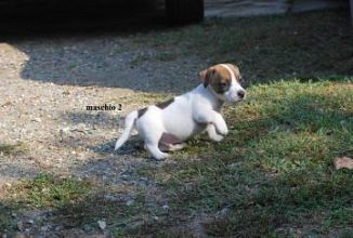 Jack Russell Terrier Cani Annunci Animali