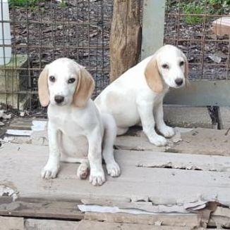 Beagle Cani Lazio Annunci Animali Trovacucciolicom Gratis