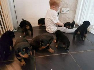 Rottweiler Cani Annunci Animali Trovacucciolicom Gratis