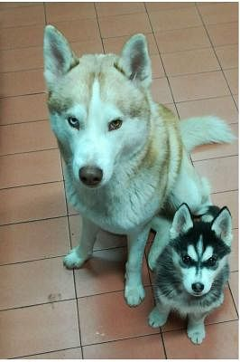 Regalo Cuccioli Di Husky.Siberian Husky Cani Annunci Animali Trovacuccioli Com