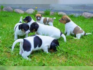 Jack Russell Terrier Cani Lombardia Annunci Animali