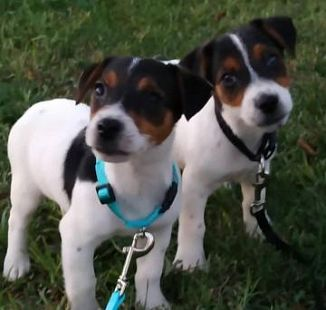 Jack Russell Terrier Cani Toscana Annunci Animali