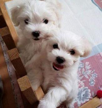 Maltese Cani Puglia Annunci Animali Trovacucciolicom