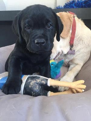 Labrador Retriever Cani Abruzzo Annunci Animali