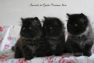 Persiano Nero Gatti Annunci Animali Trovacucciolicom Gratis