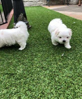 Maltese Cani Annunci Animali Trovacucciolicom Gratis Cani