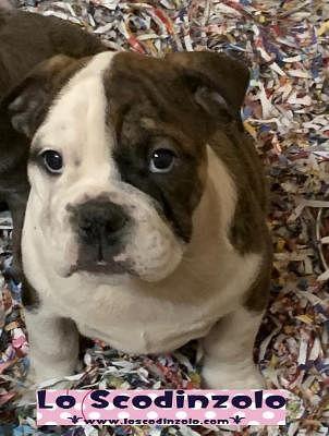 Bulldog Inglese Cani Annunci Animali Trovacucciolicom