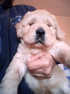 Golden Retriever Cani Lazio Annunci Animali Trovacuccioli