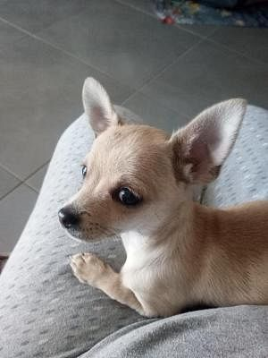 Chihuahua A Pelo Corto Cani Lazio Annunci Animali