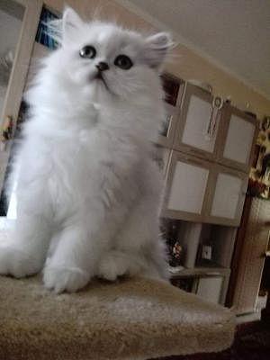 Persiano Gatti Campania Annunci Animali Trovacucciolicom