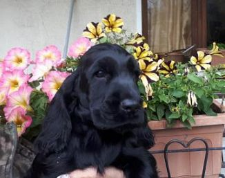 Cocker Spaniel Inglese Cani Piemonte Annunci Animali