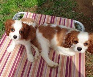 Cavalier King Charles Spaniel Cani Annunci Animali