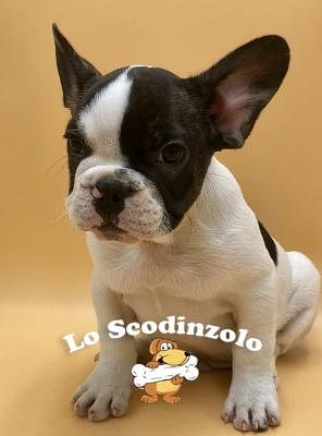 Bouledogue Francese Cani Annunci Animali Trovacucciolicom