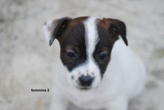 Jack Russell Terrier Cani Piemonte Annunci Animali