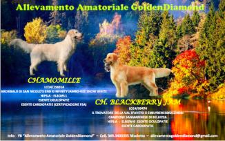 Golden Retriever Cani Emilia Romagna Annunci Animali