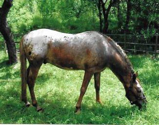Cavalli Argentini In Regalo.Cavalli Razze Estere Cavalli E Asini Annunci Animali